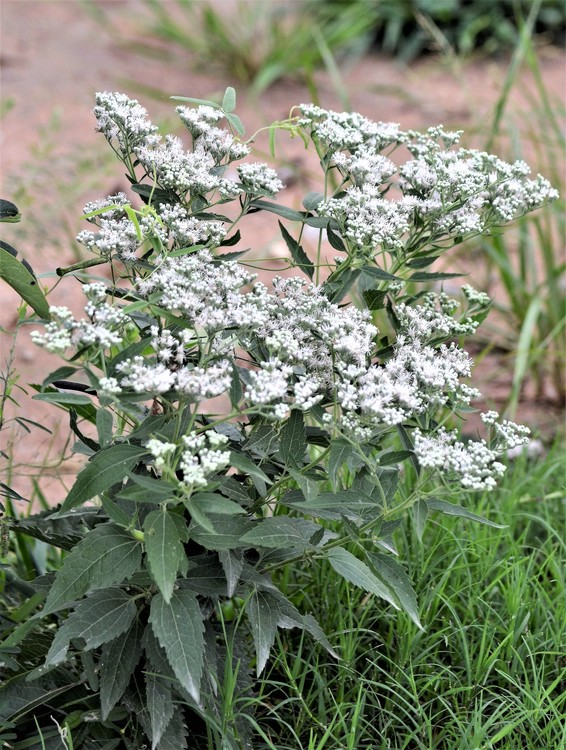 Late Flowering Boneset