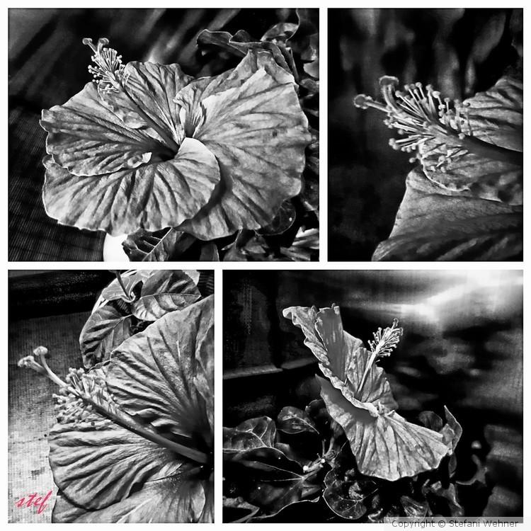 hibiscus study