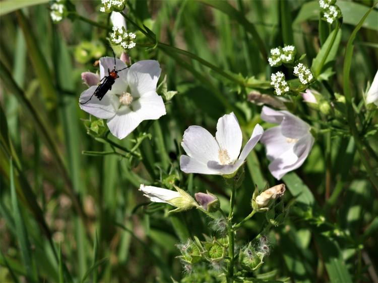 White Poppymallows