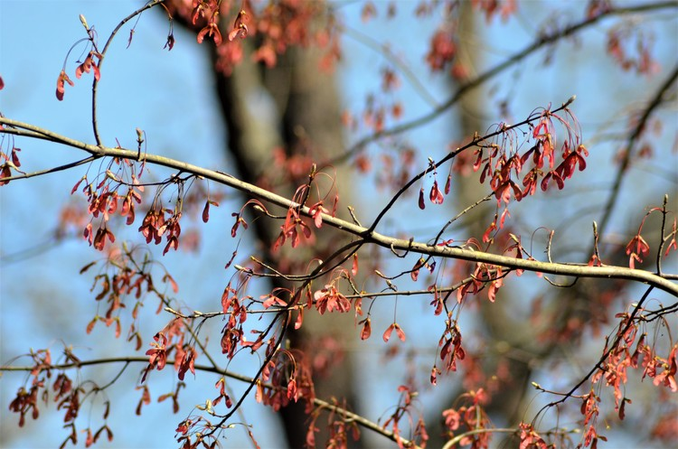 Maple Seeds in Spring