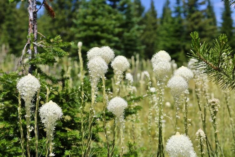 more bear grass