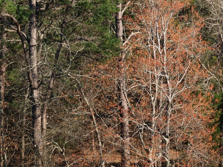 Maples & Pines