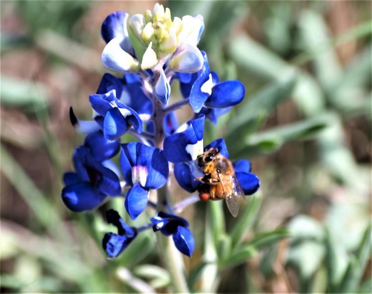 Bluebonnet Honeybee