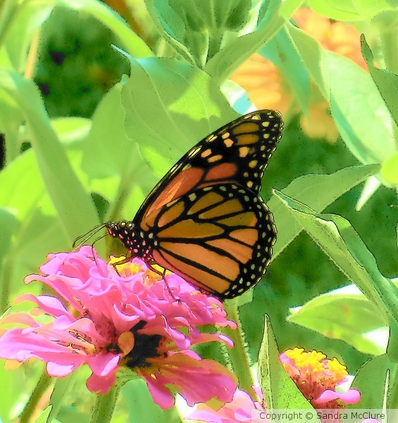 Monarch Beauty !st Place Winner in Arkansas