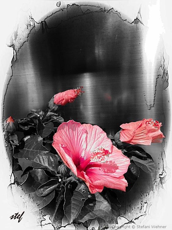 hibiscusrise