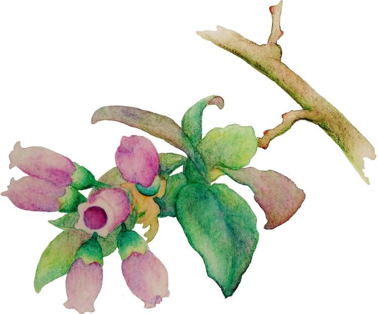 Huckleberry Blossoms