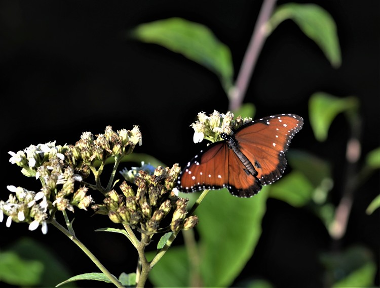 Queen Butterfly on Frostweed