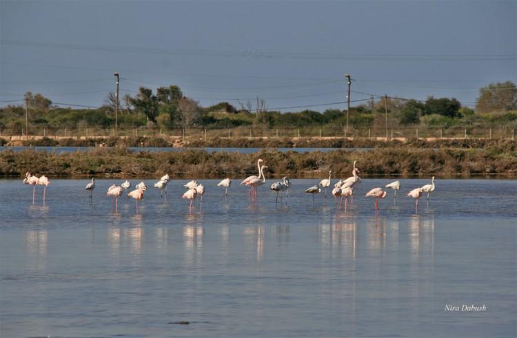 Flamingos In Atlit, Israel