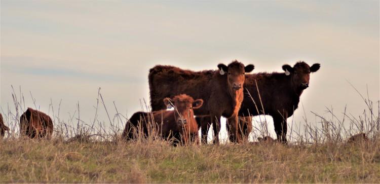 Calves Watchin'