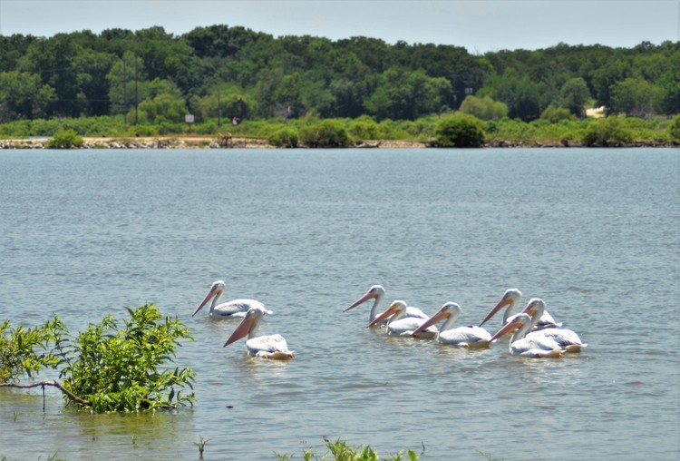 Eight Pelicans