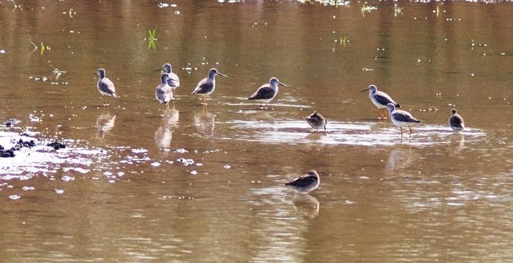 Yellowlegs at Deaver Pond