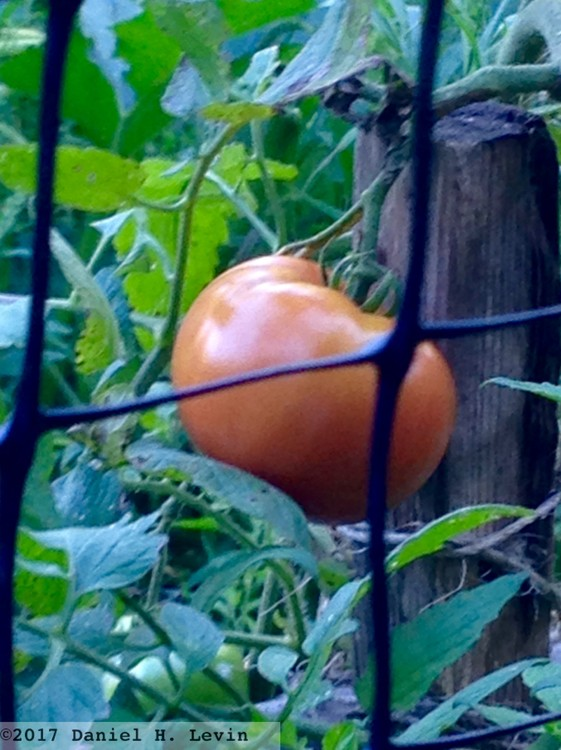 A Red Tomato on the Vineyard