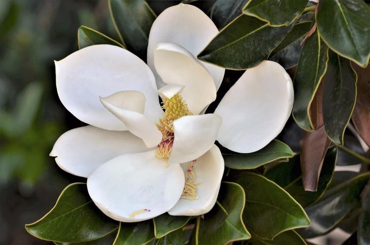October Magnolia