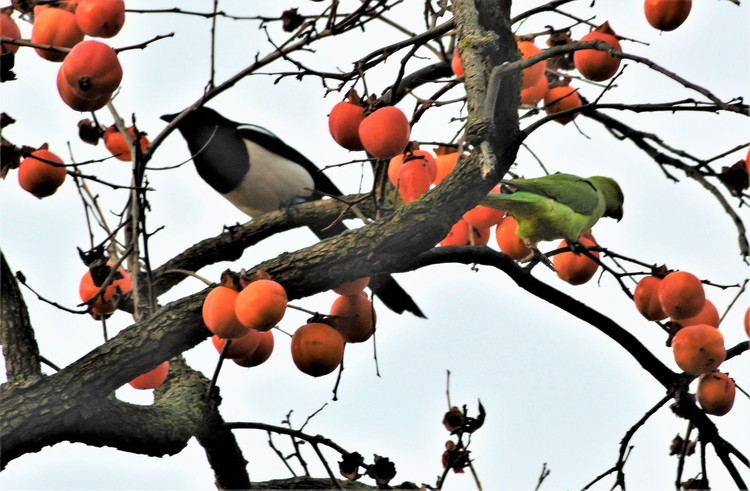 PARAKEET AND MAGPIE SHARING ..