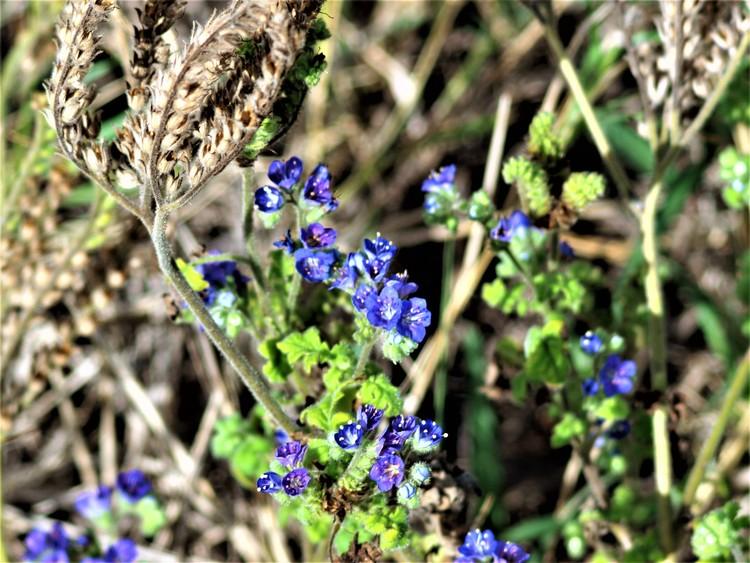 Blue Curls, Phacelia congesta