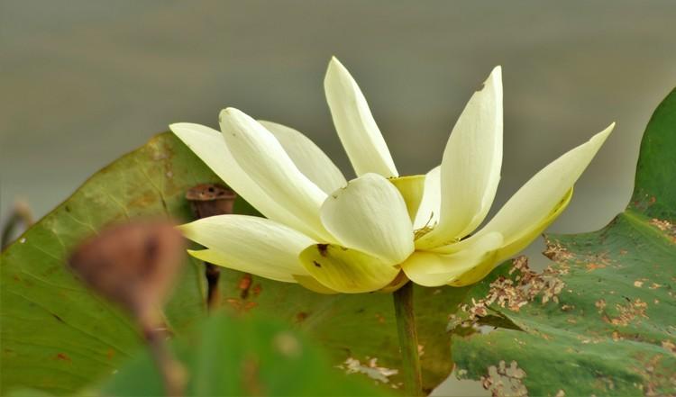 Late July Lotus