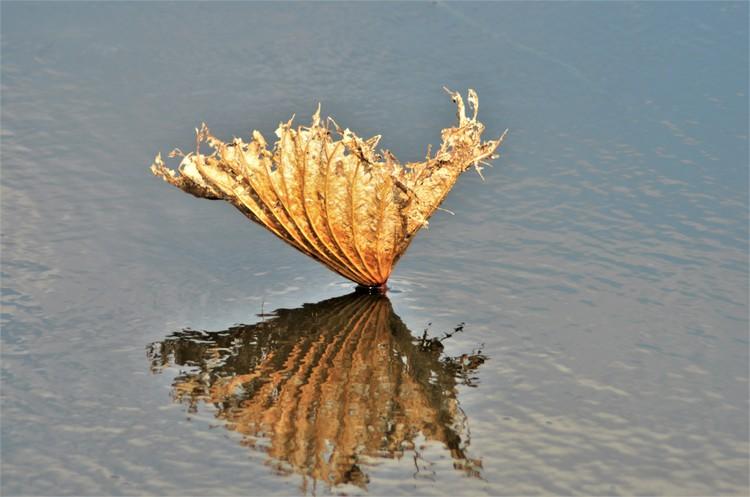 Lotus Leaf Remains