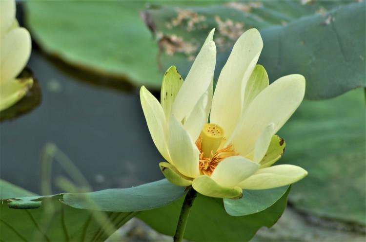 More July Lotus