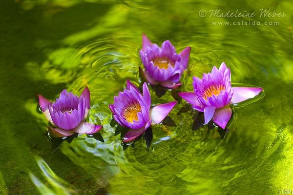 • Lotus Beauty