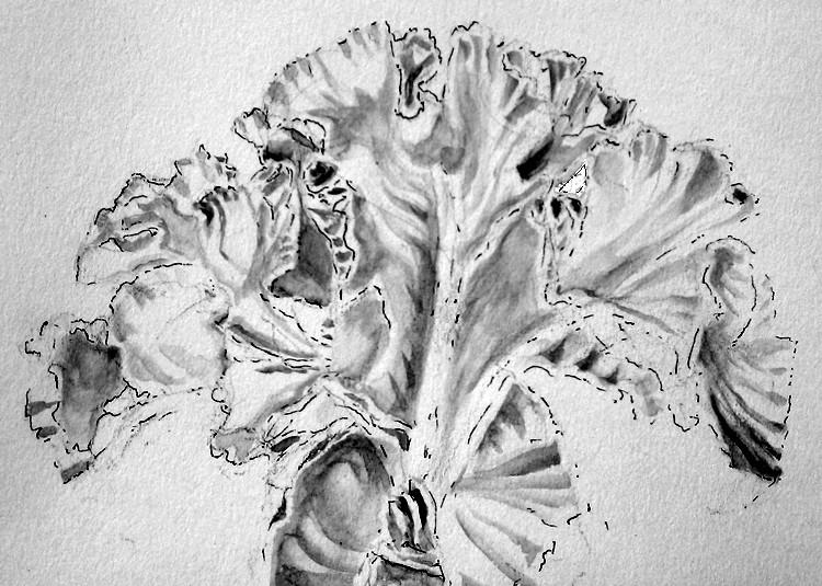 Bearded Iris Drawing