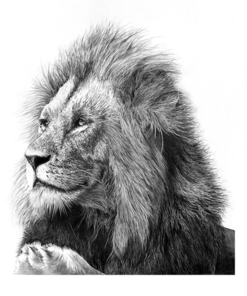 Adult Male Lion