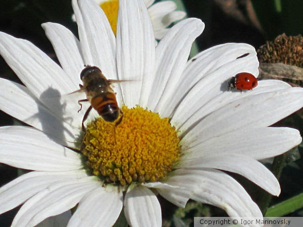 Lady-bird and bee meet each other on the flower