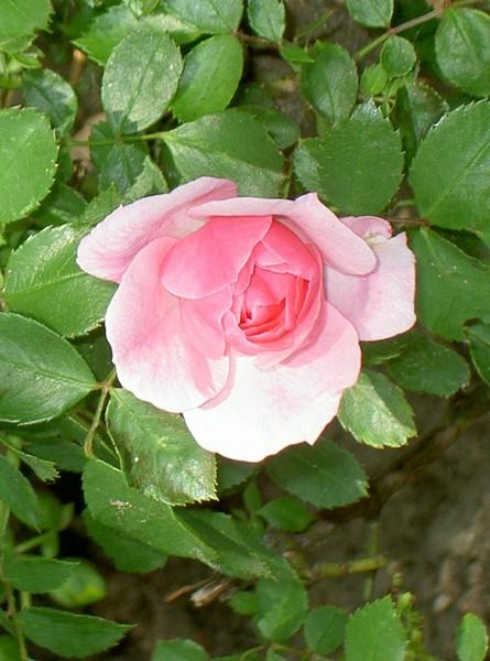 A rose for you, Mom!