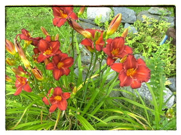 our lillies
