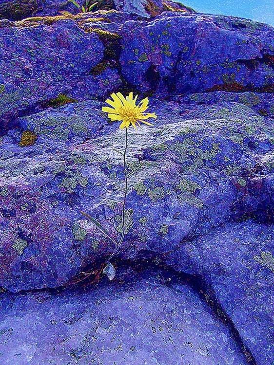 Yellow Flower in the Blue Rocks