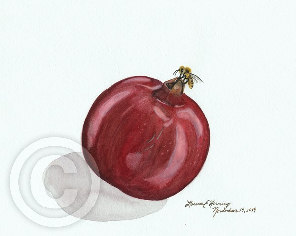 Honeybee on Pomegrante on White