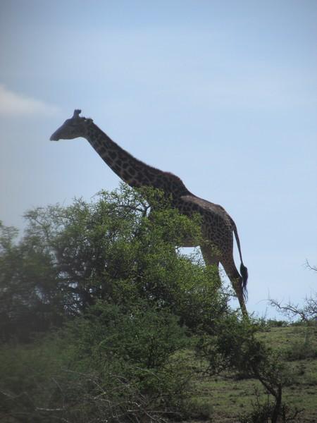 Safari Tanzania 4