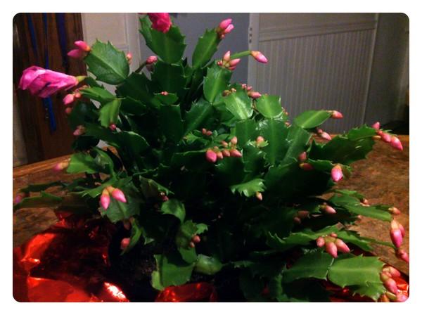 my Christmas cactus in bloom