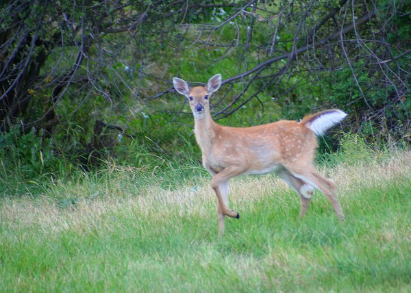Fawn on the Move