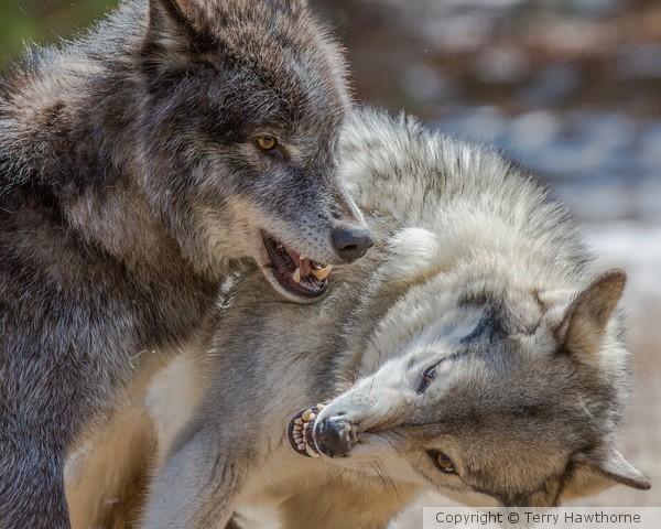 wolf_041413_1