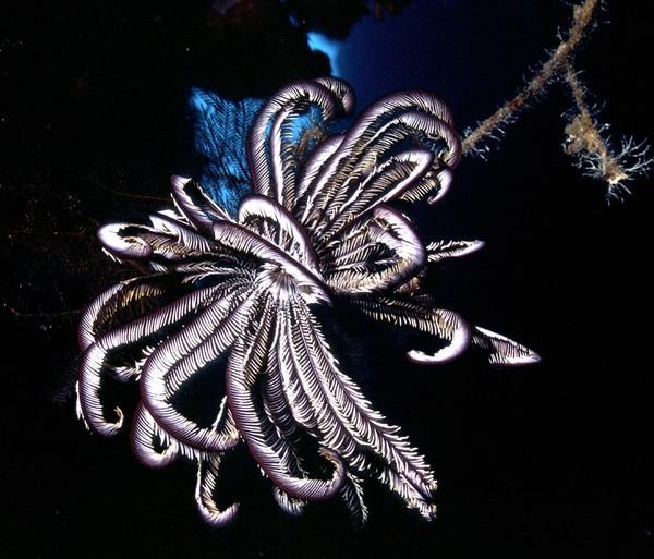 Crinoid/Soft Coral