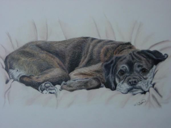 Comfy Brindle Boxer Dog
