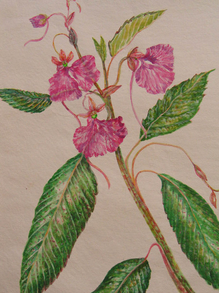 Impatien maculata