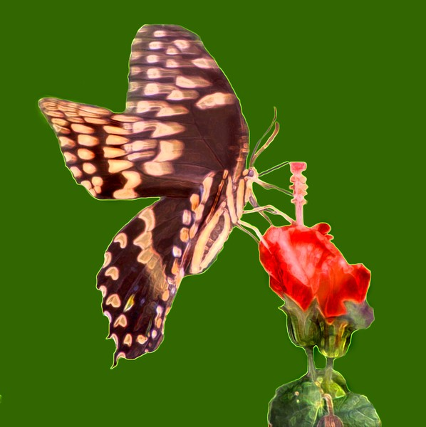Butterfly and Turk's cap