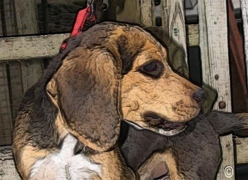 Beagle de Montagne-Therrien