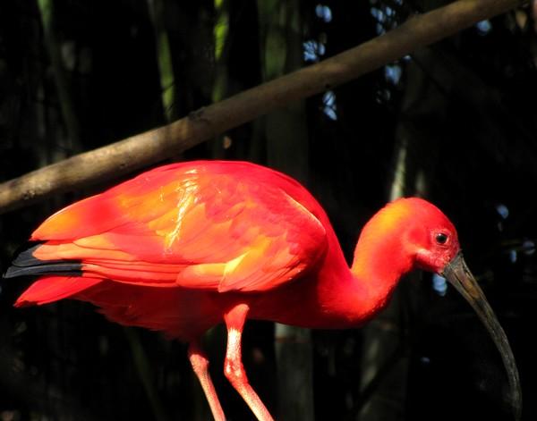 Colorful Scarlet Ibis