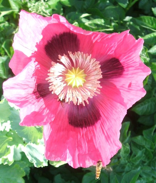 Popy flower