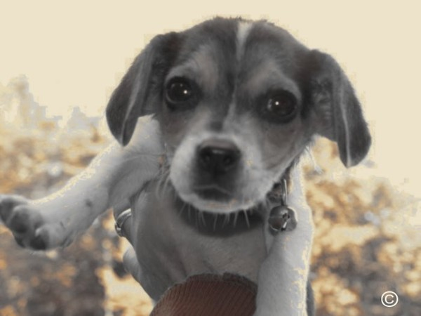Beagle de poche Montagne-Therrien