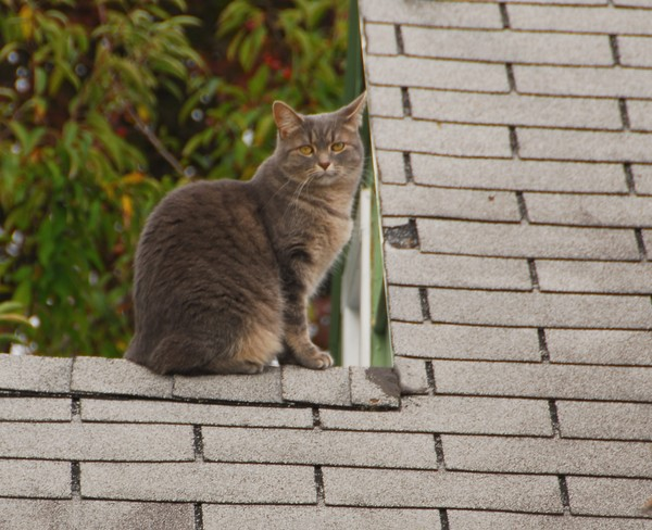 Cat on Cold Shingle Roof