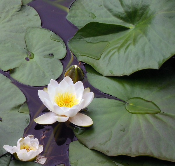 Water Lily ( Nymphaea alba)