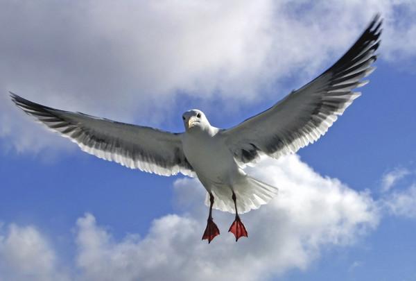 Gull in Air