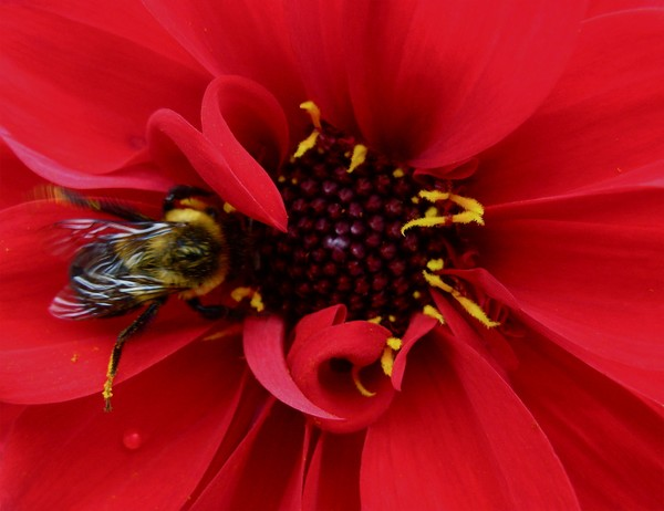 Bumblebee on Lipstick Red Flower