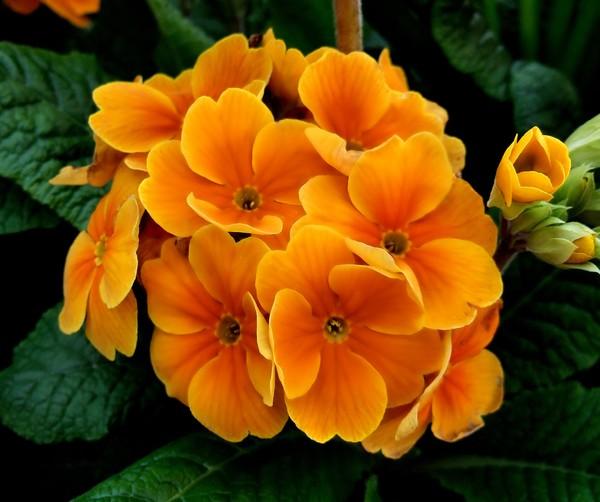 orange primulas