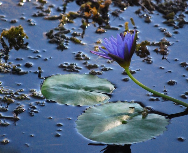 Purple water lily in the Morning