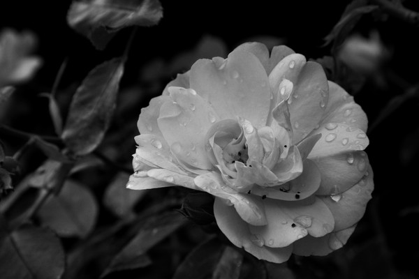 B/W rose with water drops