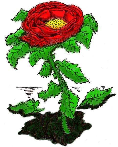 The Rose-in color